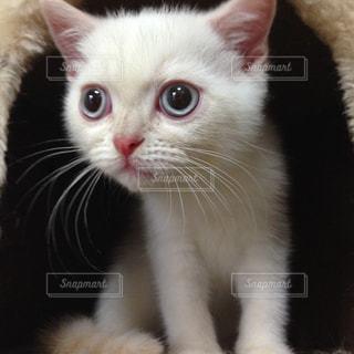 白い仔猫の写真・画像素材[1077161]