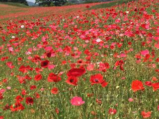 フィールドに赤い花の写真・画像素材[1075381]