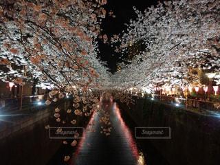 夜の桜の写真・画像素材[1075383]