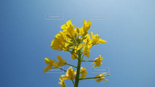 黄色の花で一杯の花瓶の写真・画像素材[1075639]