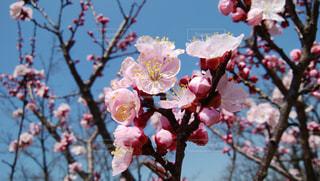 春を待っていた梅の写真・画像素材[1075692]