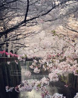 目黒川の静寂の写真・画像素材[1090459]