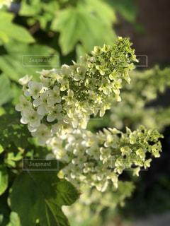 咲き始めのあじさいの写真・画像素材[1211878]