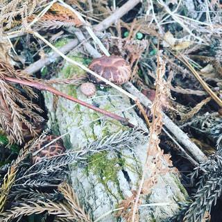 椎茸の写真・画像素材[1083090]