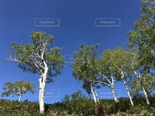 雲海テラスの木と青空の写真・画像素材[1300411]