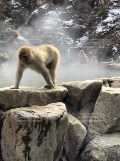 風呂上がりの猿:地獄谷温泉 スノーモンキーの写真・画像素材[1075401]