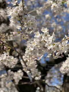 桜の花びらの写真・画像素材[1087827]