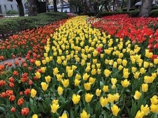 赤と黄色の花の写真・画像素材[1115570]