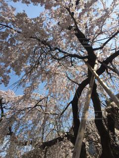 空と桜の写真・画像素材[1076209]