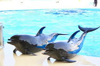 水のプールで泳ぐイルカの写真・画像素材[1076816]