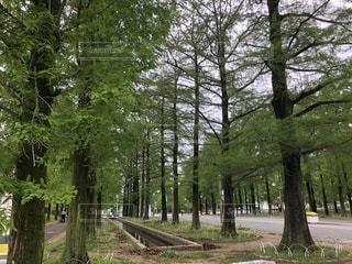 森の大きな木の写真・画像素材[1146110]