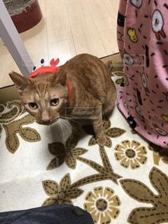 カニの帽子を被ったかわいい猫の写真・画像素材[1634759]