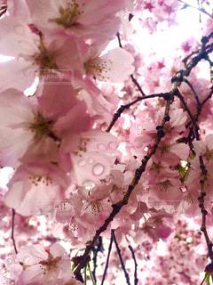 桜の写真・画像素材[1076825]