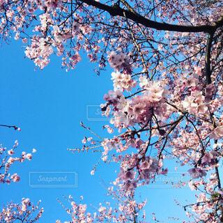 桜の写真・画像素材[1076826]