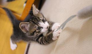 じゃれる子猫の写真・画像素材[1097285]