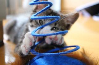 変顔の子猫の写真・画像素材[1097300]