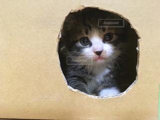 ダンボールからのぞく子猫の写真・画像素材[1098371]