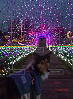 紫色の光と犬の写真・画像素材[1077144]