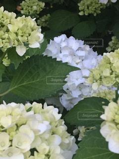 紫陽花の写真・画像素材[1077808]