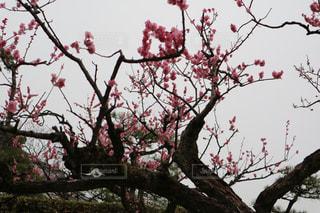 今にも雨が振りそうな空と梅の写真・画像素材[1077805]
