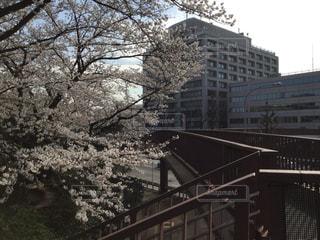 歩道橋に桜の写真・画像素材[1087234]