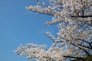 青空の桜の写真・画像素材[1087323]