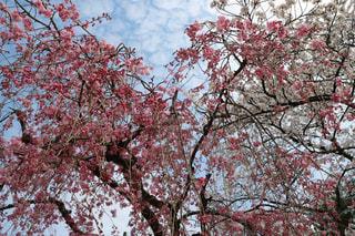 桜の下の写真・画像素材[1087325]