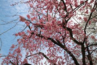 しだれ桜の下の写真・画像素材[1087326]