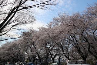 大通りの桜並木の写真・画像素材[1087346]