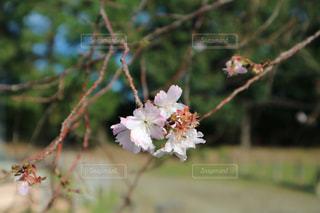 秋の桜の写真・画像素材[1605276]