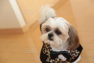 小さな白い犬の写真・画像素材[1078384]