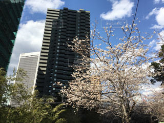 東京の桜の写真・画像素材[1078394]