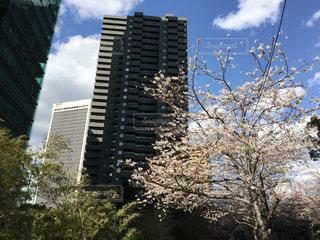 東京の桜の写真・画像素材[1078397]