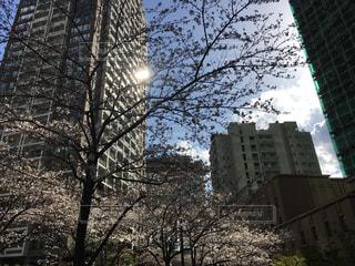 東京の桜の写真・画像素材[1078400]
