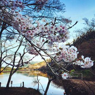 木の花の花瓶の写真・画像素材[1078747]