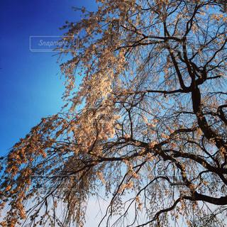 森の大きな木の写真・画像素材[1079294]