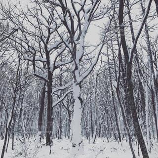 雪に覆われた木の写真・画像素材[1079299]