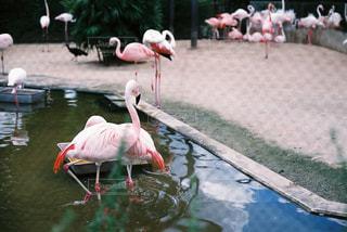水浴びフラミンゴの写真・画像素材[1085938]