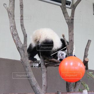 枝に横になっているパンダの写真・画像素材[1079008]