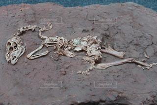 化石の写真・画像素材[1079561]