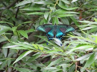 鮮やかな蝶の写真・画像素材[1080450]