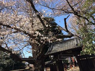寺と桜の写真・画像素材[1082114]