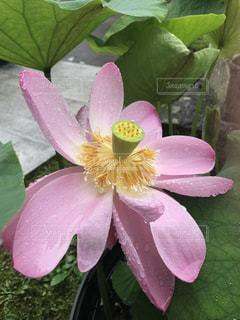 蓮の花のアップの写真・画像素材[1080141]