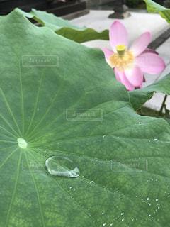 蓮の葉の写真・画像素材[1080143]