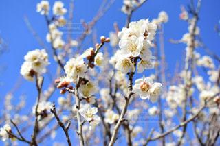 白梅 春の花の写真・画像素材[1081090]