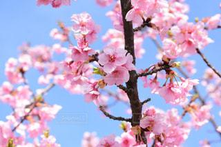 河津桜の写真・画像素材[1081091]