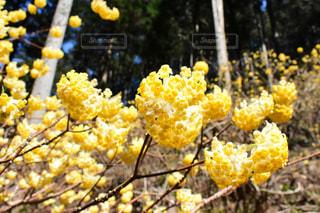 ミツマタの花の写真・画像素材[1082808]