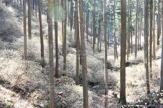 ミツマタ群生地の写真・画像素材[1082810]