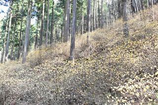 ミツマタ群生地の写真・画像素材[1082811]