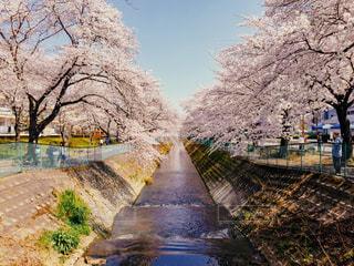 桜並木の写真・画像素材[1091655]